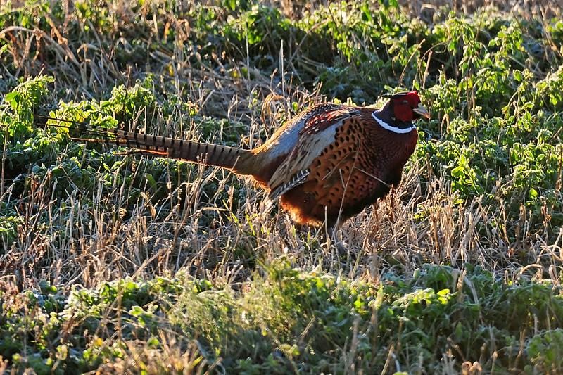Pheasant DER_9219