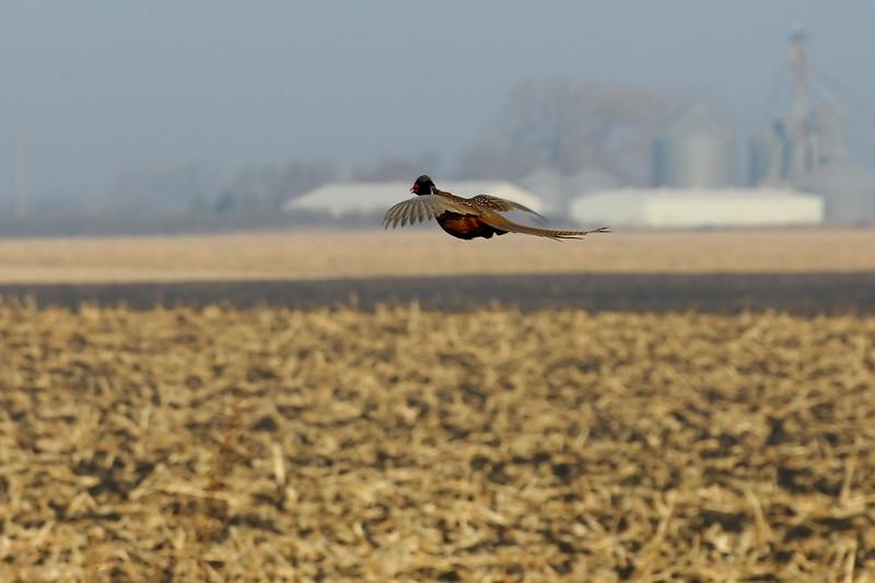 Pheasant 2WD_0035