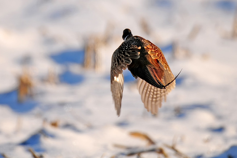 Pheasant SQC_3751