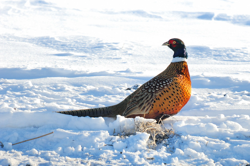 Pheasant DHY_5483