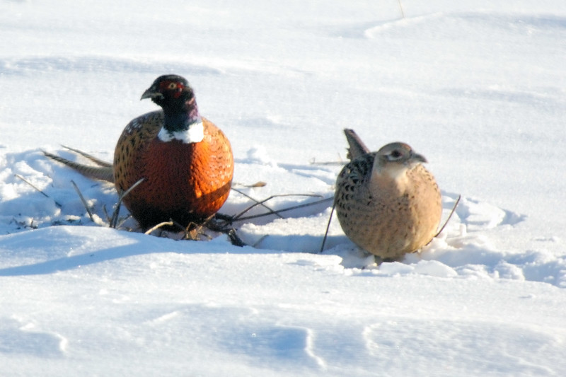 Pheasant DHY_5516