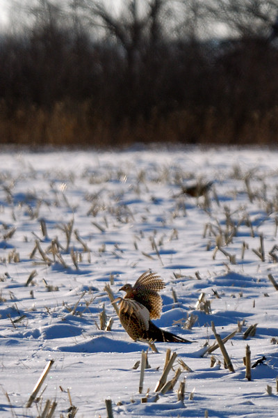 Pheasant DHY_5465