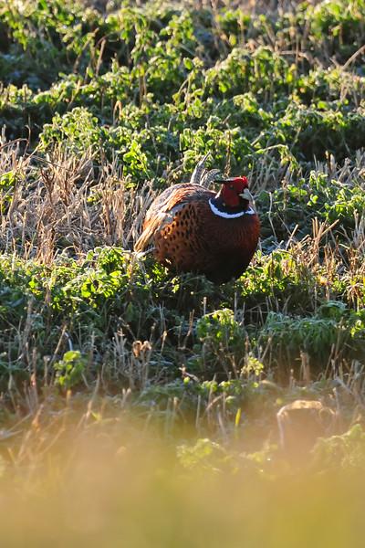 Pheasant DER_9222