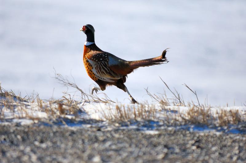 pheasant GNH_7852