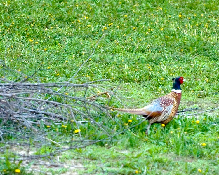 Pheasant-Rooster-MWL_3714