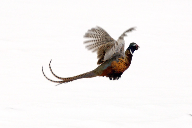 Pheasant DHY_5434