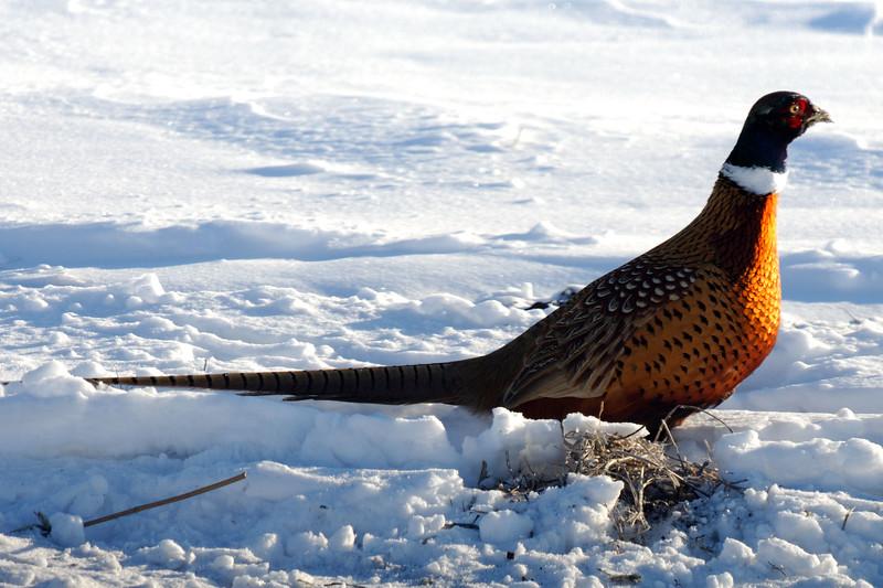 Pheasant DHY_5482
