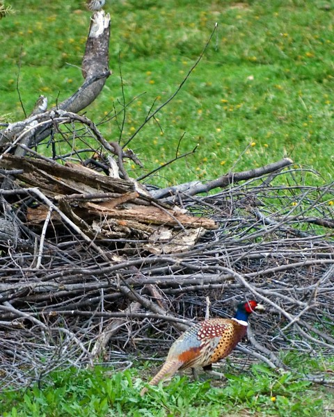Pheasant-Rooster-MWL_3712