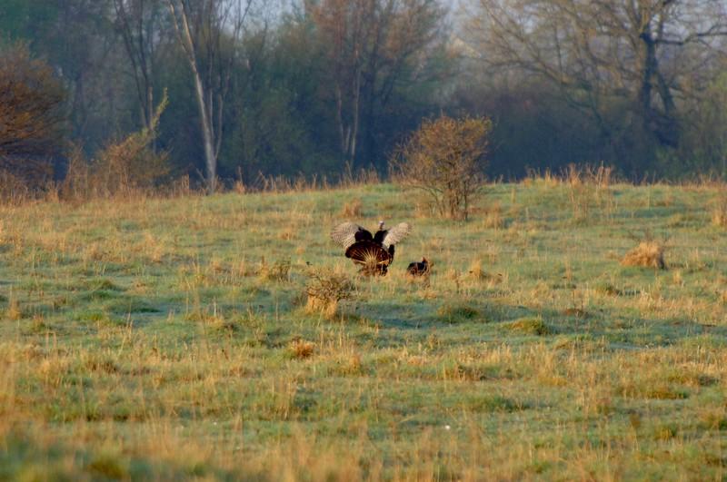 Turkeys-WID_1587