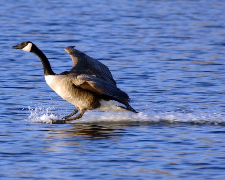 Goose-Landing-WID_1163