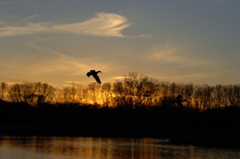 sunset-mallard-WID_1228