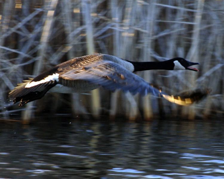 Goose-WID_1164