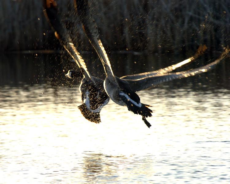 Pecking-Goose-WID_1170