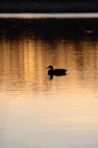 sunset-mallard-WID_1249