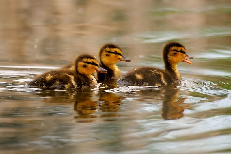 baby ducks 2WD_4072
