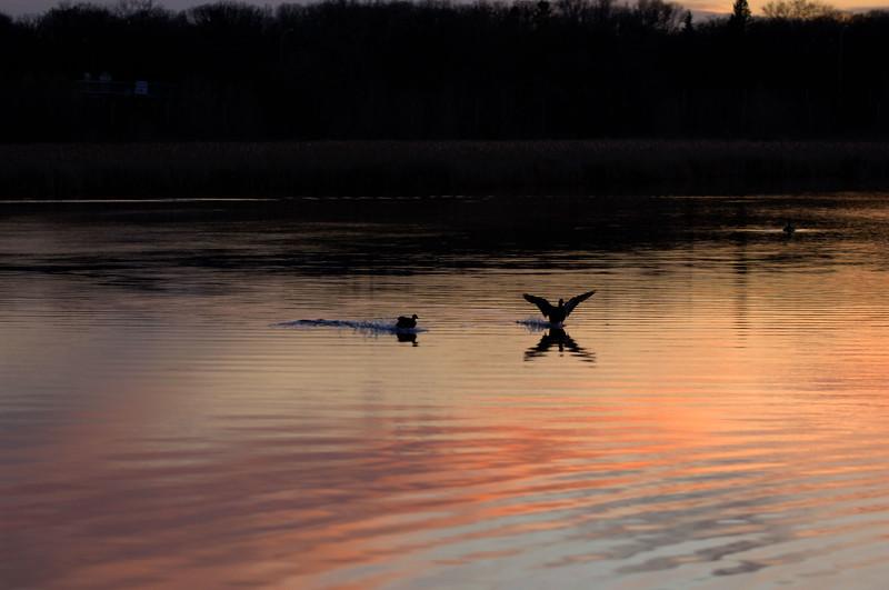 Mallard--Double-landing-WID