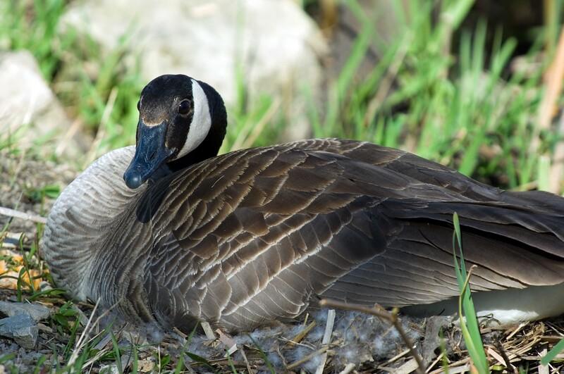 Goose-MWL_3505