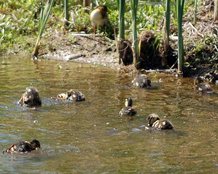 ducks_2005 2