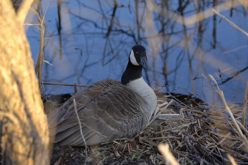 Goose nesting WID_1185