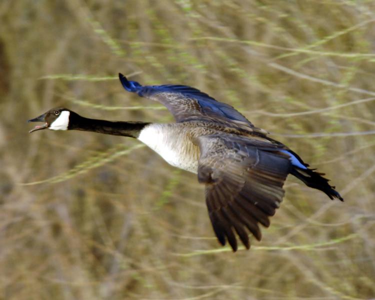 Goose-WID_1162