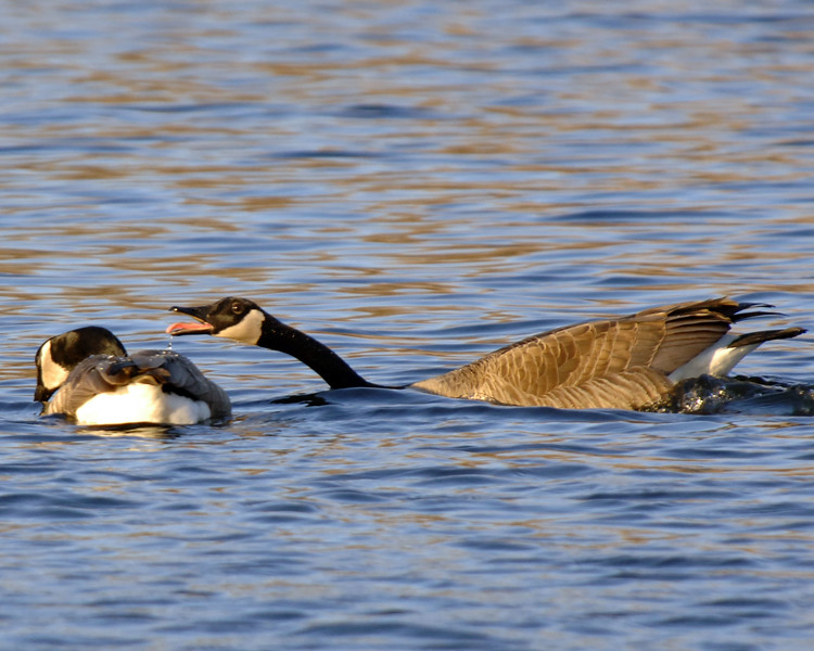 Geese-Courting-WID_1144