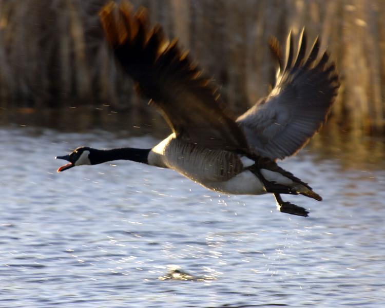 Goose-in-hot-pursuit-WID_11