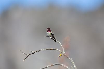 Anna's Hummingbird - Cowichan Valley, Vancouver Island, British Columbia, Canada
