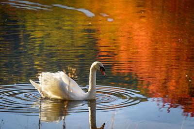 Autumn Swan, Big Pocono State Park, PA