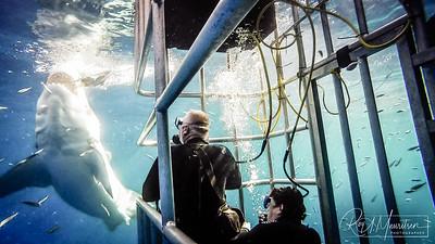 Great White Shark, Guadalupe Island