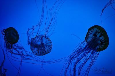 Jellyfish, Boston Aquarium