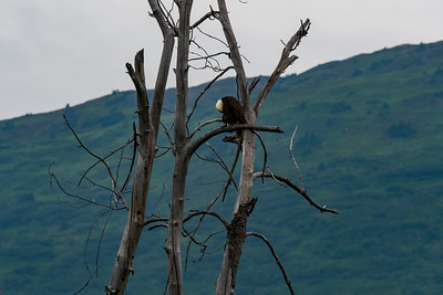 Bald Eagle with Head Hanging Low