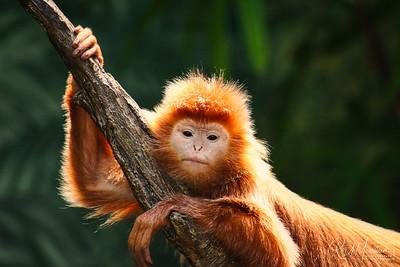 Monkey On Limb