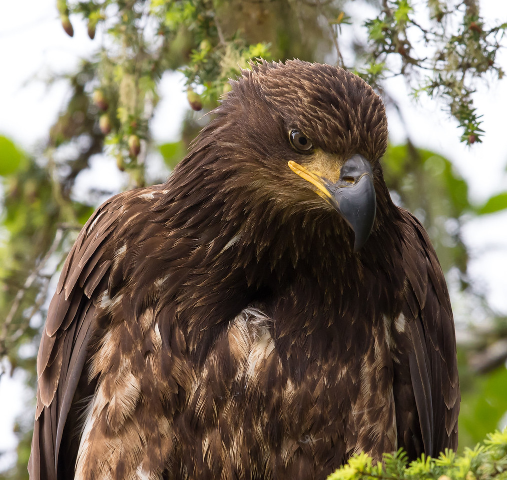 Bald Eagle   Ketchikan , Alaska