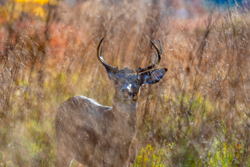 White-tailed Buck in the Reeds