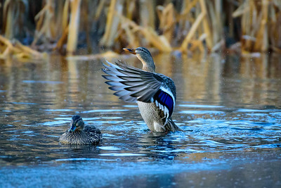 Waterfowl, showing off it's secondary feathers