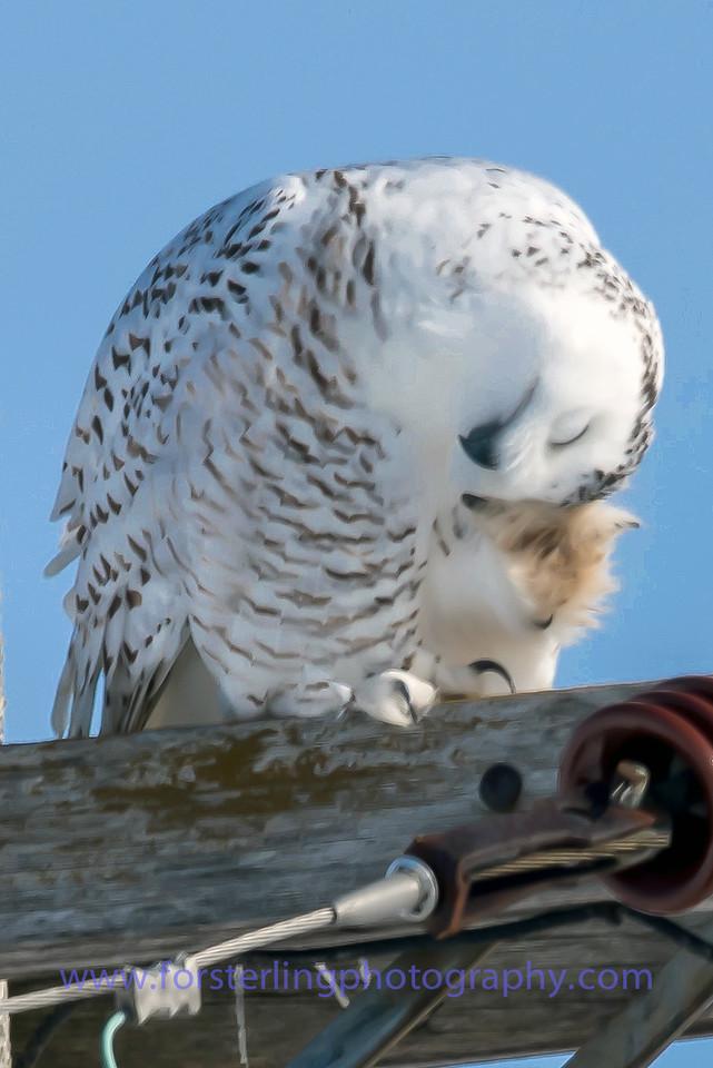 Snowy Owl - Female