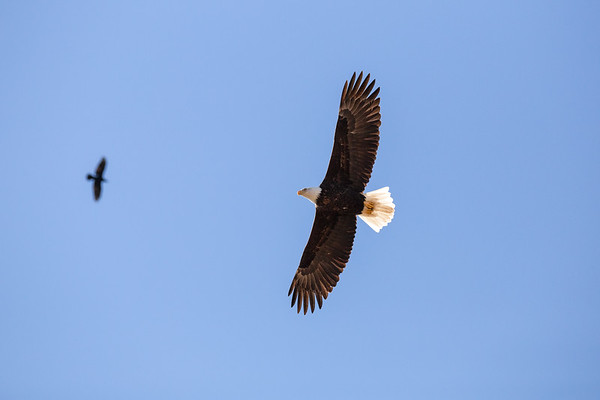 Bald Eagle - Cowichan Valley, Vancouver Island, British Columbia, Canada