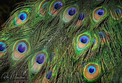 Peacock plumage, detail