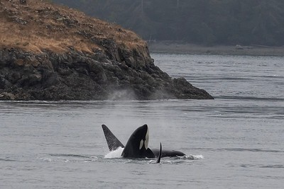 Orcas Playing in Peugeot Sound