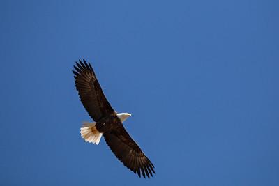 Bald Eagle - Cowichan Valley, Vancouver Island, British Columbia, Canada