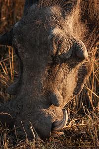 Warthog, South Africa
