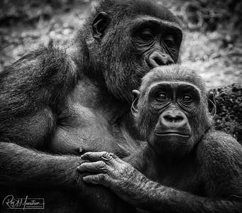Gorilla & child
