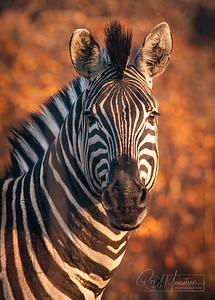 Zebra, portrait, South Africa