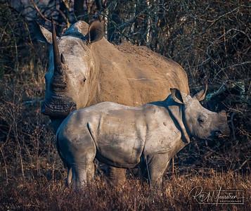 White Rhino and Calf, South Africa