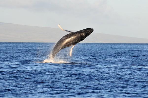 Humpback Breaching in Maui