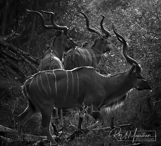 3 Male Kudu, South Africa