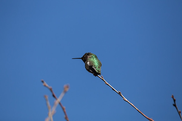 Anna's Hummingbird - Cowichan Valley, Vancouver Island, British Columbia, Canada