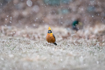 American Robin, Dressed for snow!