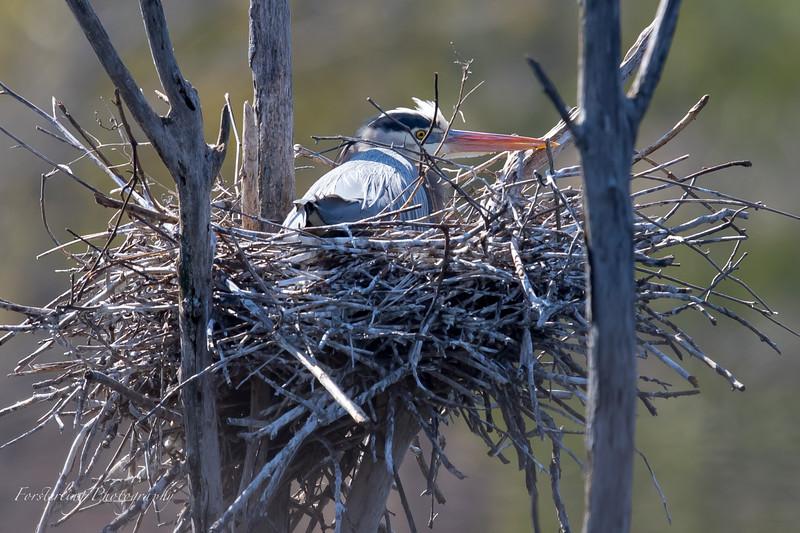 Baby Great Blue Heron