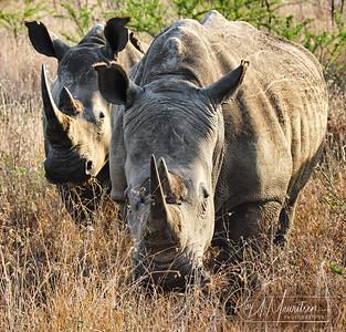Rhinos, South Africa